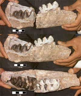 The teeth of the newly described Eritreum melakeghebrekristosi are a tip-off to its position as a missing link in the elephant family tree. Photo courtesy of the University of Michigan.